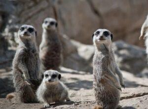 mystic meerkats