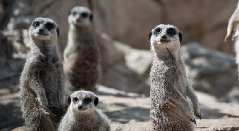 Mystic meerkats predict England will win the Euro 2020 final